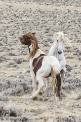 two wild horses from the McCullough Peaks herd get ibnto a brief fight.