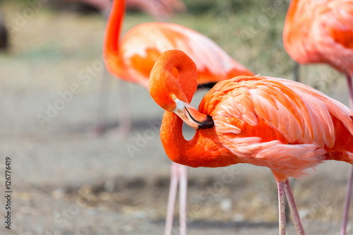 Foto op Aluminium Flamingo Flamingos or flamingoes are a type of wading bird. These shots were taken in Mexico where they can be seen wading and sifting through the water feeding on shrimps and other insects.
