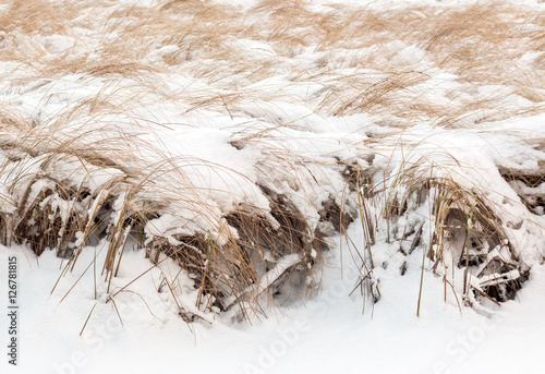 Fotografie, Obraz  Slender sedge at a flood meadow covered by snow