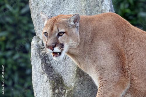 Tuinposter Puma Puma