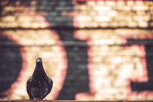 Pigeon Against The Wall