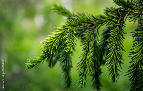 a branch of spruce needles closeup