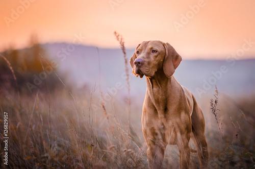 Tuinposter Hond vizsla
