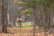 adult male deer walks in autumn forest