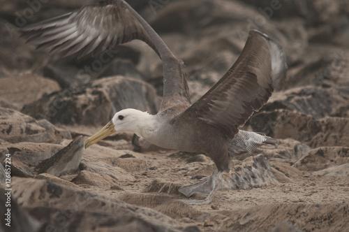 Fotografia, Obraz  Waved Albatross
