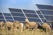 Schafherde grast unter einer Freiflächen Photovoltaikanlage