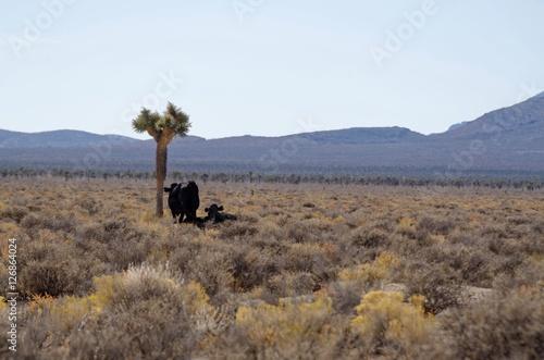 Fototapeta Krowy na pustyni