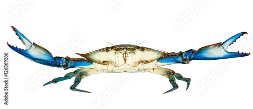 Blue crab attack isolated on white background