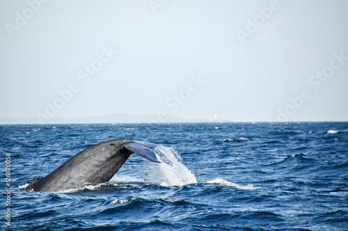Fotografie, Obraz  blue whale finn - side-face