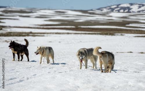 Fotografie, Obraz Siberian Husky in snow