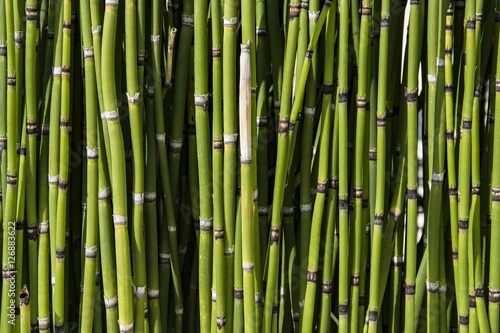 Foto op Plexiglas Groene Horsetail Background