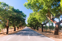 The Road With Cork Oaks. Parqu...