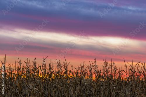 Vászonkép Cornfield Sky - Setting Sun Over Central Indiana