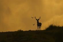 Backlit Red Deer At Sunset Light