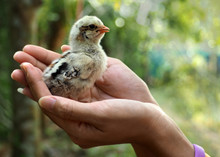 Chicks On Women Hand