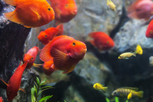 Blood Parrot Cichlid Well Known As Bloody Parrot And Blood Parro