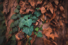 Ivy Leaves On The Trunk Of A Tree In Autumn
