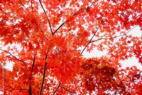 Keuken foto achterwand Rood traf. 鮮やかな紅葉風景