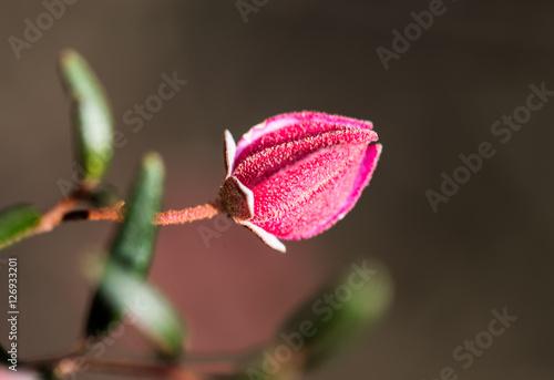 Photo  Australian Flowers