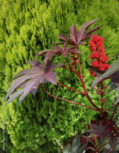 Plante A Fleur Rouge Ricin Buy This Stock Photo And Explore