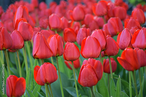 Photo  Blossoming of tulips