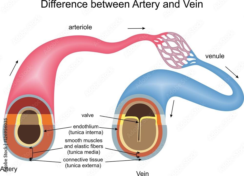 Difference Between Artery And Vein Foto Poster Wandbilder Bei