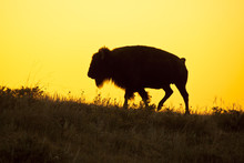 Silhouette Of Bison At Sunrise