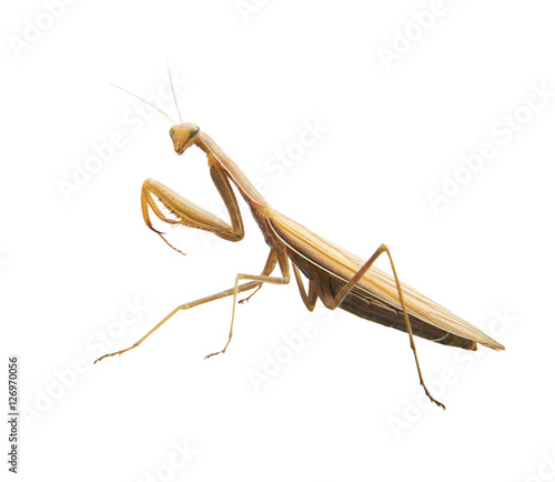 Fotografie, Obraz  Beetle mantis. Isolated.