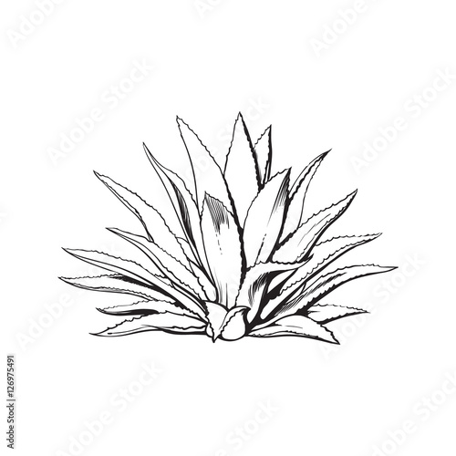 Hand drawn blue agave, main tequila ingredient, sketch style vector illustration isolated on white background Canvas Print