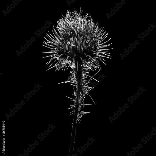 Fototapeta czarno biały oset w tylnym świetle o ostrym konturze obraz