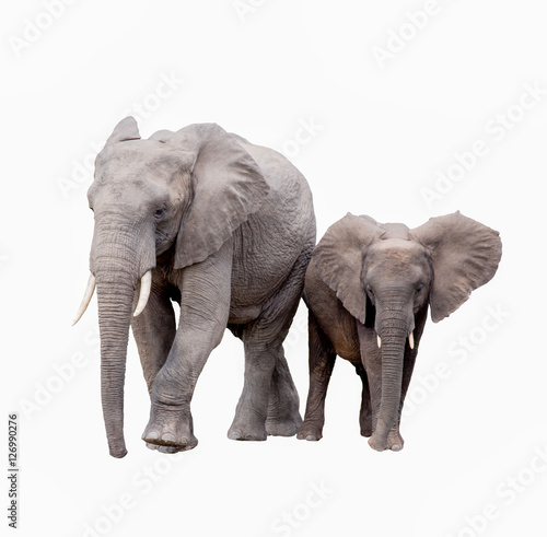 elephants on white background