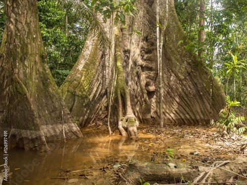Papiers peints Noir Old tree in Amazaon jungle