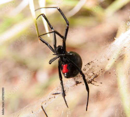 Photo  Black Widow spider outdoors, with her red hourglass marking visible on the abdom