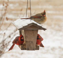 Female Northern Cardinal Sitting On Top Of A Bird Feeder In Snowfall, With Two Males Below Her Eating Seeds