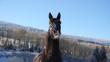 Pferd wiehert