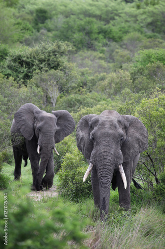 Canvas Prints Elephant Two African elephant. Adult males with tusks going