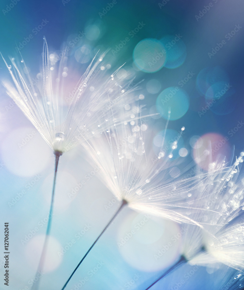 Fototapety, obrazy: Dandelion Seeds in the drops of dew on a beautiful blurred background. Dandelions on a beautiful blue background. Drops of dew sparkle on the dandelion.