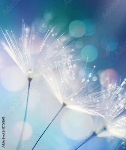 Fototapeta premium Dandelion ziarna w kroplach rosa na pięknym zamazanym tle. Dandelions na pięknym błękitnym tle. Krople blasku rosy na mniszka lekarskiego.