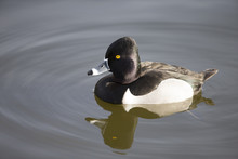 Ring-necked Duck Swimming In L...