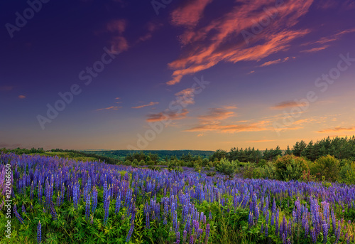 Fototapeta majestic sunset over field of lupine flowers obraz na płótnie