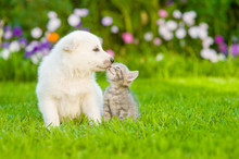 Kitten Kissing White Swiss She...