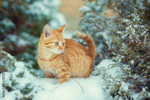 Cute kitten walking in snowy forest Canvas-taulu