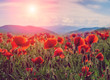 amazing spring landscape. poppy flowers closeup. on the background of majestic mountains, with perfect sky. blurred. original creative image. instagram toning effect