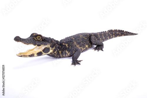 Poster Crocodile Dwarf crocodile,Osteolaemus tetraspis