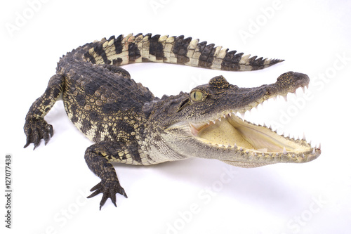 Photo sur Toile Crocodile Siamese crocodile,Crocodylus siamensis