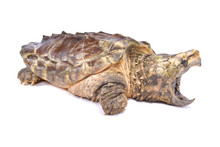 Alligator Snapping Turtle,Macr...