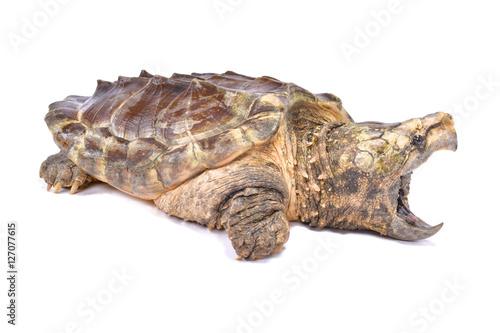 Foto op Aluminium Schildpad Alligator snapping turtle,Macrochelys temminckii