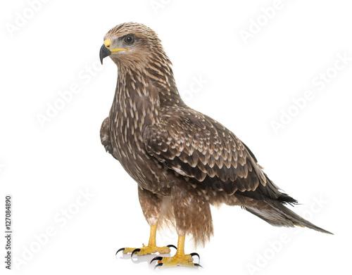 In de dag Eagle Common buzzard in studio