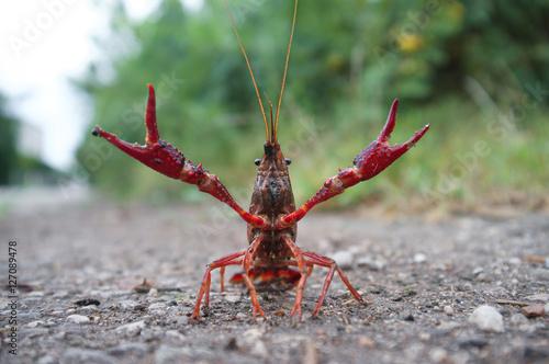 wild red swamp crawfish attacks!