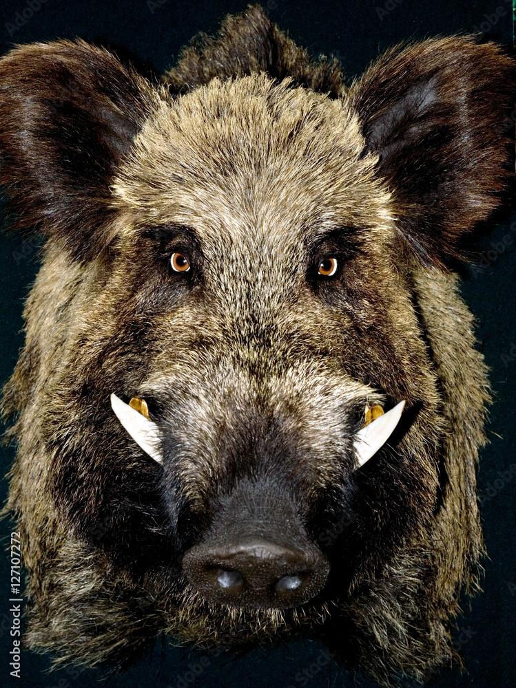 Fototapeta Male wild boar portrait